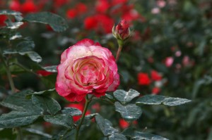 japan_flowers_23