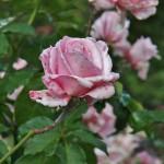 japan_flowers_24