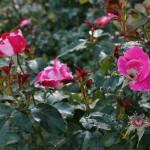 japan_flowers_31