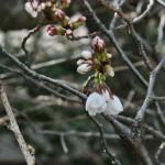 """Сакура, сорт """"сомэйёсино"""". Только-только распускаются отдельные цветочки. Через недельку, думаю, будет самый пик"""