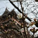 Еще одиноких цветочков сакуры
