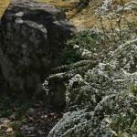"""Юки-янаги, """"снежная ива"""". Декоративный кустарник, цветущий примерно в одно время с сакурой (но намного дольше)"""