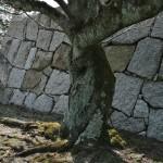 Ствол старой сакуры