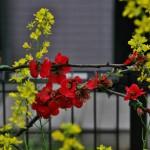 Красное - хеномелес, оно же - японская айва, оно же - бокэ. Желтое - рапс