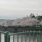 Пруд Кумэда-икэ. В пруд налили воды и сакура цветет. Лепота...
