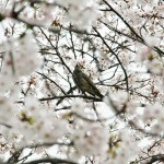 Неопознанная птичка в сакуре