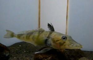 japan_ice_fish