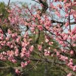 Цветы сливы