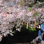japan_sakura_at_kyoto_incline_03