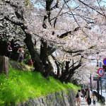 japan_sakura_at_kyoto_incline_05