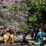 japan_sakura_at_kyoto_incline_08