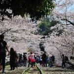 japan_sakura_at_kyoto_incline_10