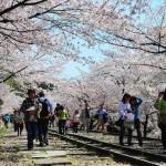 japan_sakura_at_kyoto_incline_11