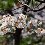 japan_sakura_at_kyoto_incline_21