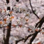 japan_sakura_at_kyoto_incline_23