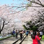 japan_sakura_at_kyoto_incline_25
