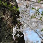 japan_sakura_at_kyoto_incline_26