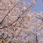 japan_sakura_at_kyoto_incline_28