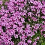 """По-японски это называется """"сиба-дзакура"""" 芝桜. Видимо, за схожесть цвета и формы с """"настоящей"""" сакурой"""