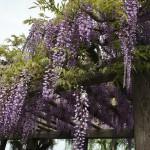 japan_wisteria_11