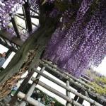 japan_wisteria_12