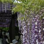 japan_wisteria_17