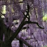 japan_wisteria_18