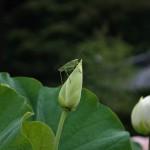 japan_sake_lotus_17