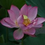 japan_sake_lotus_22