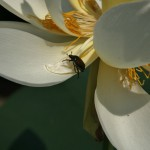 japan_sake_lotus_24