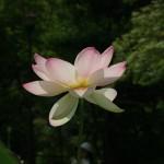 japan_sake_lotus_29