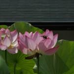 japan_sake_lotus_31