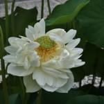japan_sake_lotus_33