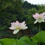 japan_sake_lotus_35