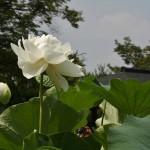 japan_sake_lotus_38