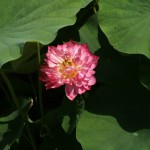 japan_sake_lotus_44