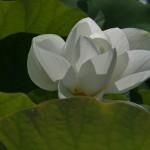 japan_sake_lotus_50