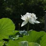 japan_sake_lotus_52