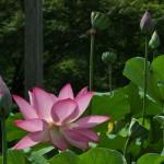 japan_sake_lotus_53