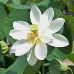 japan_sake_lotus_56