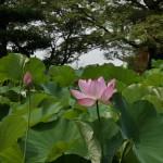 japan_sake_lotus_58