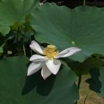 japan_sake_lotus_59