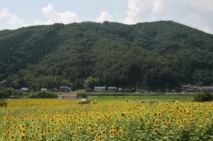 japan_sunflower_07