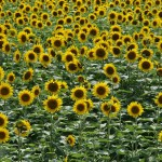 japan_sunflower_08