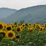 japan_sunflower_09