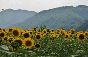 japan_sunflower_09