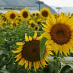 japan_sunflower_10