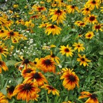 japan_sunflower_11