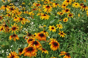 japan_sunflower_11