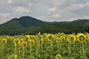 japan_sunflower_12